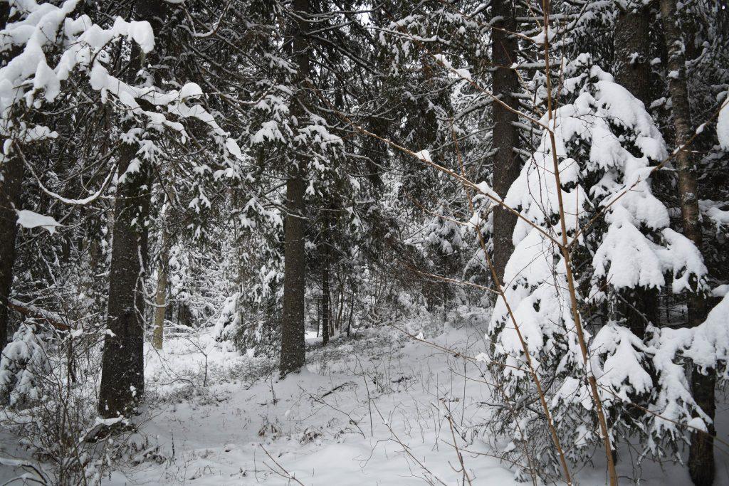 valgemetsa valge mets